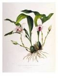 Maxillaria Skinneri