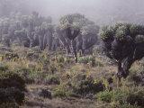 Lalibela Trees on the Slope of Mount Kilimanjaro  East Africa