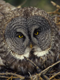 Great Gray Owl on Nest