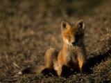 Arctic Fox Cub  Alopex Lagopus  Looking at the Camera
