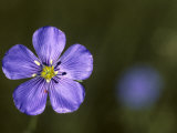Blue Flax and a Tiny Red Mite