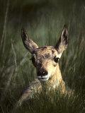 Big Black Eyes of a Pronghorn Fawn are Quick to Spot Trouble Papier Photo par Michael S. Quinton