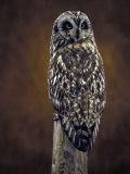 Short Eared Owl  Idaho