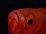 Close Up of the Eye of a Red Bigeye Fish