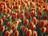 Mass Planting of Tulips in Bloom in the Spring