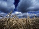 Golden Heads of Wheat in a Field under a Vast, Turbulent Sky Papier Photo par Annie Griffiths Belt