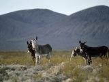 Wild Burros Wander Near Death Valley National Park