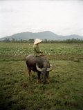 Farmer Sitting on His Water Buffalo in a Farm in Vietnam