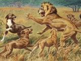 Rhodesian Ridgebacks Corral a Lion for a Hunter