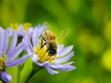 Honey Bee Collecting Pollen from an Aster Flower with Purple Petals