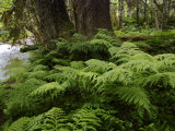 Ferns in Tongass National Forest