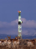 Herd of Pronghorns Graze Near a Natural Gas Drilling Rig