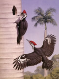 Pair of Pileated Woodpeckers Nest in a Dead Royal Palm Tree