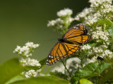 Monarch Butterfly  Danaus Plexippus  on a Blooming Shrub