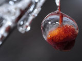 Ice Covered Buds on a Weeping Cherry Tree