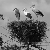 Three Young Storks Standing on their Nest
