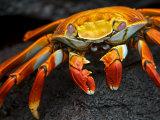 Sally Lightfoot Crab  Grapsus Grapsus  Foraging on Volcanic Rock