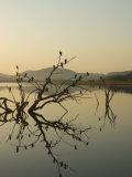 Cormorants  Phalacrocorax Species  Roosting in Tree Snag over Water