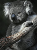 Portrait of a Furry Cute Koala with Huge Ears Sitting in a Tree Fork