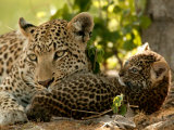 Leopard (Panthera Pardus) with Young Cub