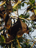 Spectacled Flying Fox Bats Roost in a Rainforest Smashed by a Cyclone