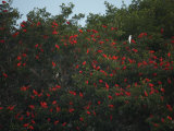 Scarlet Ibises Roosting in Mangrove Trees  a Lone Egret Among Them