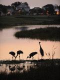 Sandhill Cranes Feed in One of the Neighborhoods of Harmony  Florida