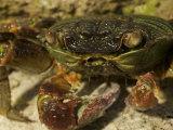 Close Up of a Tropical Rock Crab  Grapsus Tenuicrustatus