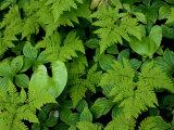 Ferns  Bunchberry in Southeast Alaska  Coastal Rainforest