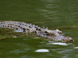 Crocodile Swimming at the Waters Surface
