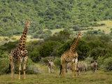 Giraffes and Zebras in an African Landscape Papier Photo par Mattias Klum