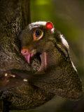 Flying Lemur in Bako National Park