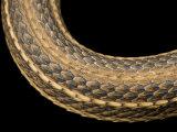 Gulf Marsh Snake  Nerodia Fasciata Clarki