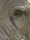 Close Up Detail of the Eye of an African Elephant  Loxodonta Africana