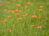 Orange California Poppies Blooming in a Green Field
