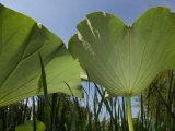 View of the Underside of Lotus Water Lily Plant Leaves
