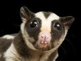 Striped Opossum (Dactylopsila Trivirgata)