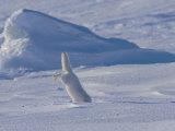 White Arctic Fox (Alopex Lagopus) Dives into a Seal Pup Den