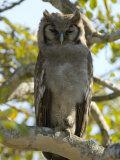 Verreaux's Eagle Owl  Bubo Lacteus  or Milky Eagle Owl  in a Tree