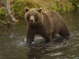 Brown Bear in a Stream