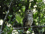 Barred Owl Sitting on a Tree Branch