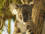 Wild Koala  Phascolarctos Cinereus  in a Eucalyptus Tree