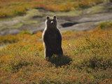 Brown Bear in Tundra