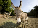 Donkey  Pony  Horse and Goats Eating Hay in an Outdoor Pen