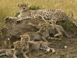 Cheetah Family: Mother and Cubs