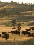 Bison Grazing in Custer State Park  South Dakota