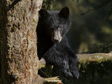 Black Bear on Tree Branch in Tongass National Forest
