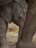 Elephant Calf Finds Shelter Amid its Mother's Legs
