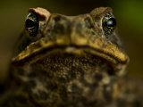 Close Up Portrait of a Rain Forest Frog