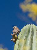 American Kestrel  Falco Sparverius  on a Cardon Cactus